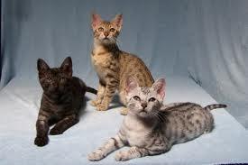 Zilver, brons en smoke katten